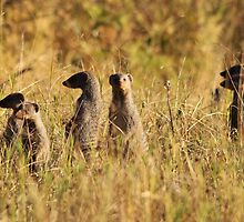 Banded Mongoose - African Wildlife Background - Band of Brothers by LivingWild