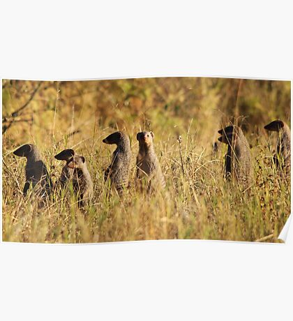 Banded Mongoose - African Wildlife Background - Band of Brothers Poster