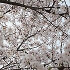 Cherry Blossoms All Around by Christian Eccleston