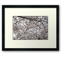 Cherry Blossoms All Around Framed Print