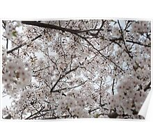 Cherry Blossoms All Around Poster
