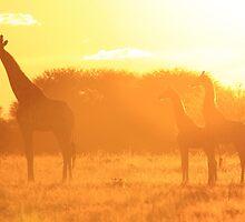 Giraffe - Yellow Beauty - African Wildlife Background by LivingWild