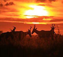 Red Hartebeest - Sun Symmetry - African Wildlife by LivingWild