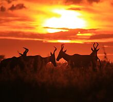 Red Hartebeest - Sun Symmetry - African Wildlife by LivingWild