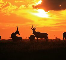 Red Hartebeest - Sunset Beauty - African Wildlife by LivingWild