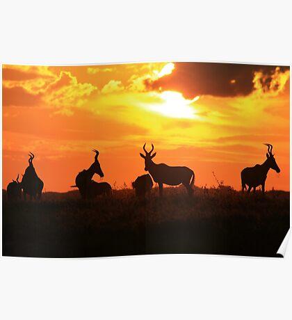 Red Hartebeest - Sunset Beauty - African Wildlife Poster