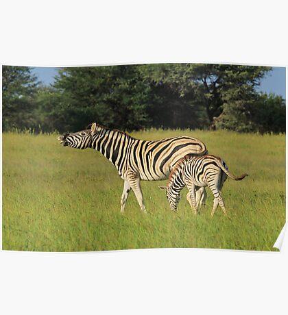 Zebra - Funny Nature - African Wildlife Background  Poster