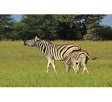 Zebra - Funny Nature - African Wildlife Background  Photographic Print