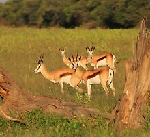 Springbok - African Wildlife Background - Natural Framing by LivingWild