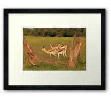 Springbok - African Wildlife Background - Natural Framing Framed Print