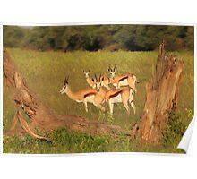 Springbok - African Wildlife Background - Natural Framing Poster