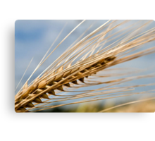 Ear of Barley Canvas Print
