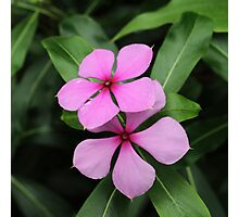 Twin Madagascar Periwinkle Flowers Photographic Print