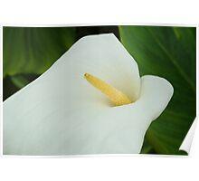 Pure White Calla Lily Poster