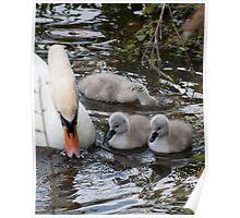 Swan Family Poster