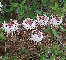 Wild Azalea -  Rhododendron canescens by TexasNature