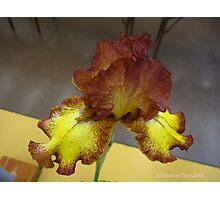 Rustic Iris Photographic Print