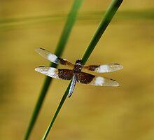 Dragonfly by xonear