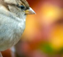Female House sparrow Sticker