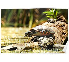 Cute Big Turtle Poster