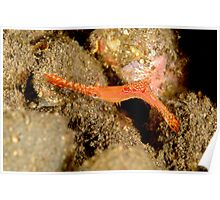Donald Duck shrimp - Leander plumosus Poster