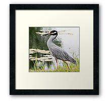 Yellow-crown night heron Framed Print
