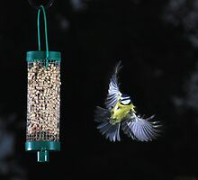 Blue tit flying to peanut feeder by turniptowers