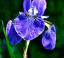 Blue Iris by cclaude