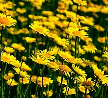 A Bed of Golden Marguerites by cclaude