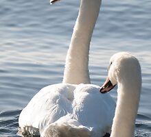 Swans by Ryszard  Wozniak