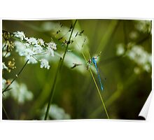 Polish Dragonfly in the Grass Poster