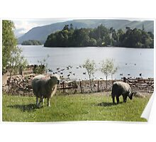 Derwentwater Sheep and Lamb 1 Poster