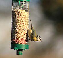 Blue tit on bird feeder by turniptowers