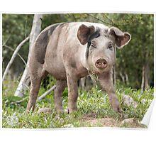 Pig named Sausage Poster