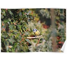 Blue tit on small branch Poster