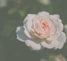 Single Pale Rose by Bethany Helzer