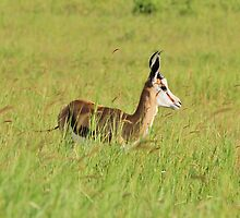 Springbok - Green Beauty - African Wildlife Background  by LivingWild