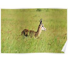 Springbok - Green Beauty - African Wildlife Background  Poster