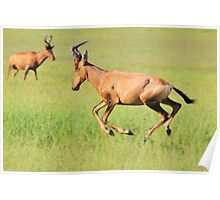 Red Hartebeest - Running Colors - African Wildlife Poster