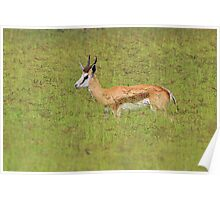 Springbok - Freedom of Color - African Wildlife Background  Poster