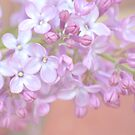 Pale Lilac by shalisa