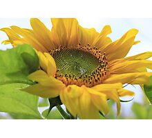 Giant gold sunflower crown and petals – 1 -Losely Photographic Print