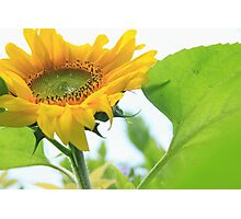 Giant gold sunflower crown and petals – 2 – Losely Photographic Print