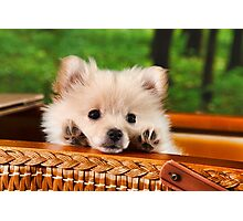 Pic Nic Dog Photographic Print