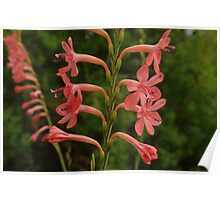 Pink Bugle Lily Poster