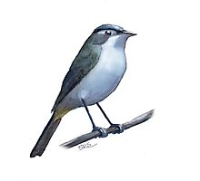 Red-eyed Vireo Photographic Print