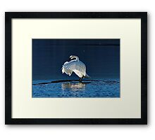 Trumpeter Swan Flapping Framed Print