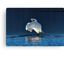 Trumpeter Swan Flapping Canvas Print