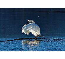 Trumpeter Swan Flapping Photographic Print