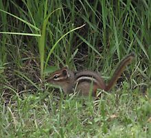 Adorable Chipmunk by TScottAdams